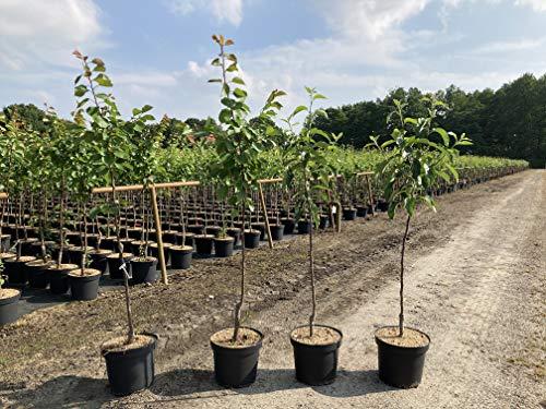 """1 Apfelbaum""""Golden Delicious"""" 120-150cm im Topf Busch Obstbaum Apfel Baum Obst Malus domestica + Dünger für die Jahresdüngung"""