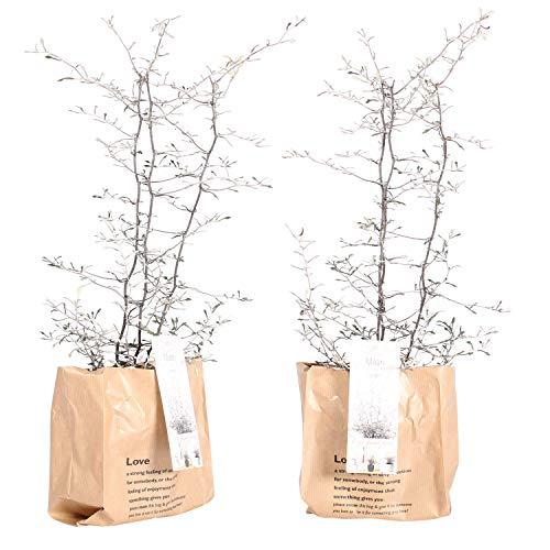 Zimmerpflanzen von Botanicly – 2 × Zickzackstrauch in Papier Look Übertopf braun als Set – Höhe: 30 cm – Corokia Cotoneaster