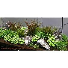 Mühlan Wasserpflanzensortiment Aquariumwiese, ausschließlich kleinbleibende Vordergrundpflanzen inkl. Dünger