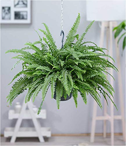 BALDUR-Garten Hängepflanze Schwertfarn, 1 Pflanze Luftreinigende Zimmerpflanze, luftreinigend Nephrolepis