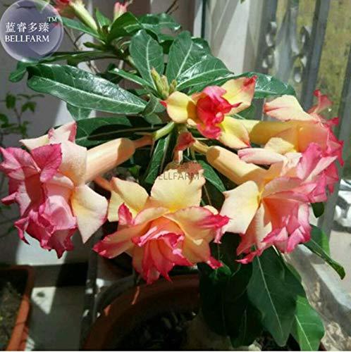 GETSO Erbstück Trompete Adenium Desert Rose, Profi-Pack 2 Seeds, 4-Schicht