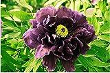 Rizoma De Peonía, La Peonía Es Un Hermoso Bulbo De Planta Especial, Un Hermoso Bulbo De Planta Especial, / Durable / Agradable /-3-rizoma,Púrpura