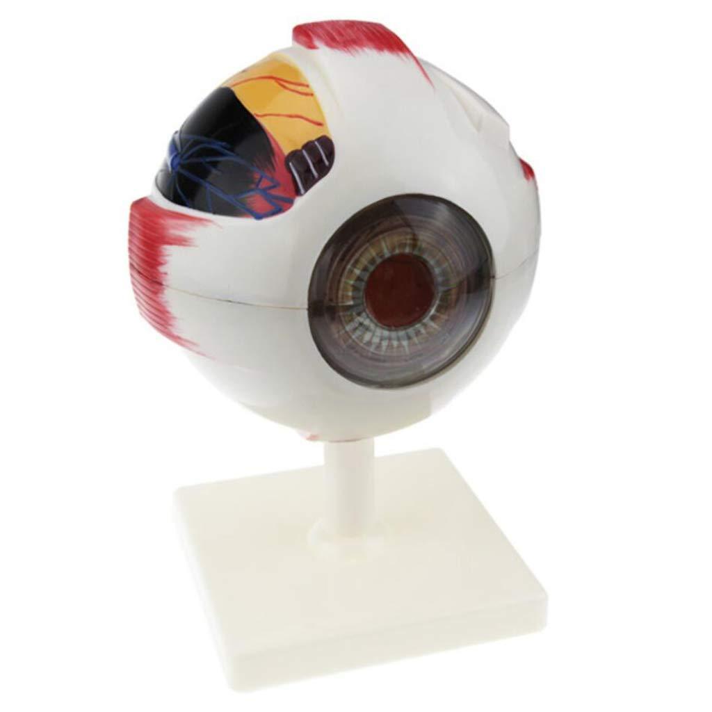 ZLF Eye Anatomy Model Ranking TOP3 6X Human online shop Struc Anatomical Enlarged Eyeball