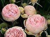 Kisshes Giardino -10 pezzi Peony Flower Seeds Arbusti profumati Semi di peonia Piante prim...