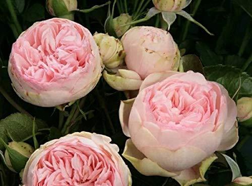 Kisshes Giardino -10 pezzi Peony Flower Seeds Arbusti profumati Semi di peonia Piante primaverili Perenne Hardy per giardino Balcone/Patio