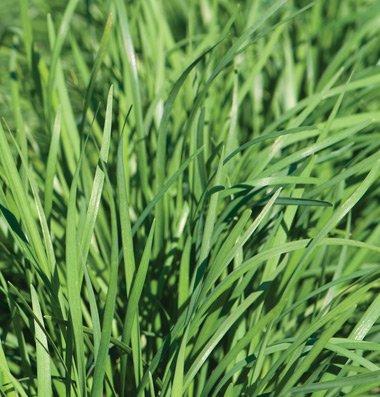 David's Garden Seeds Herb Chives Garlic Nira 2271 (Green) 200 Non-GMO, Open...