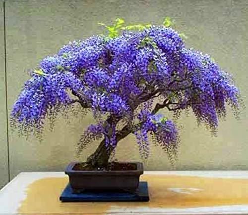 Qulista Samenhaus - Afrikanischer Blauregen Zimmerbonsai immergrün Freilandbonsai, 10pcs Glyzinie Blumensamen Wildblumen Saatgut winterhart mehrjährig