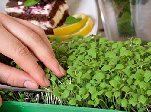 Microgreens - Basilic citron\