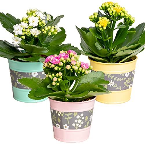 Kalanchoe Gardenlina | 3er-Set - Zimmerpflanze in Zink-Töpfen ⌀7 cm - ↕12-15 cm
