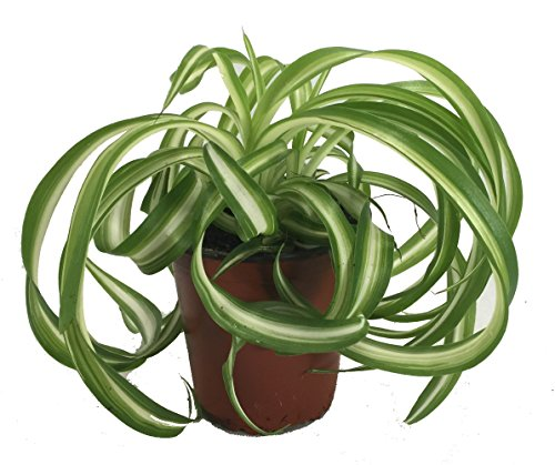Shop Succulents | 'Bonnie' Curly Spider Plant, Naturally Air Purifying House Plant in 4' Pot, Easy Care, Live Indoor House Plant