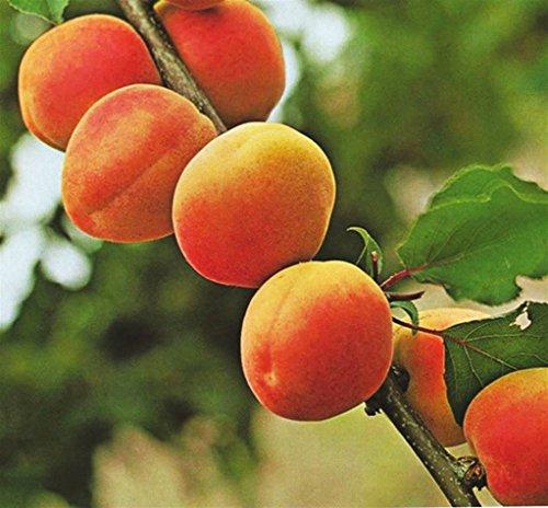 Pianta da frutto ALBERO SIMILE DI ALBICOCCO -PRUNUS ARMENIACA- DI SETTEMBRE DAI FRUTTI GROSSI pianta vera Ø 19 cm - h 150 cm