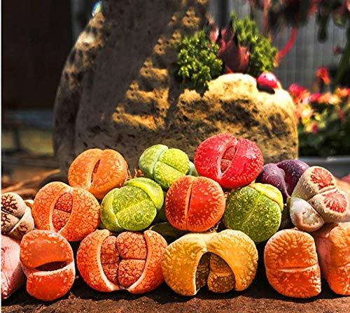 Promworld Plantes ornementales,Graines de Fleurs de Pierre brutes - 100 Fleurs de Pierre de Lilly Vertes,Graine parfumée Vivace