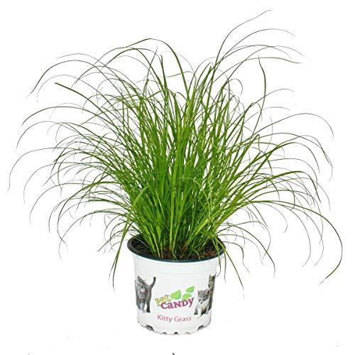 Katzengras - Cyperus alternifolius - zur Verdauungsunterstützung von Katzen
