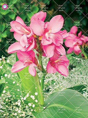 10 pcs nain Bonsai Canna Graines belles graines Fleur Feuillage Magnifique vivace Plante en pot pour jardin 1