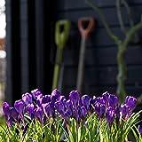 Bulbos de Azafrán,Hermosas Flores,Cuidado Simple,Vale La Pena Plantar,DecoracióN,Bulbo De La Planta-5 Bulbos