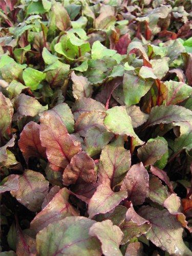 Suffolk herbes g?n?rations Lot???Feuilles de salade???La betterave Taureaux sang???80?graines