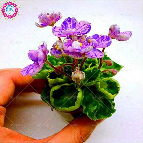 100pcs couleurs mélangées Mini Violet Graines, Graines violettes africaines, plantes Mini jardin Violet Fleurs vivaces Herb Matthiola Incana Seed 1