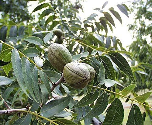 Pekannuss Carya illinoinensis Pflanze 15-20cm Hickory Pecannussbaum Rarität