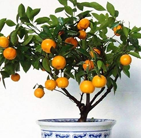 KINGDUO 30Pcs Comestible Fruta Mandarina Bonsai Árbol De Semillas De Cítricos Semillas Bonsai Semillas De Mandarina