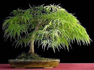 Lace Leaf Japanese Maple, Acer Palmatum Dissectum, 10 Tree Seeds