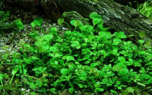 Tropica Aquarium Pflanze Marsilea hirsuta Nr.010 TC in Vitro 1-2 Grow Wasserpflanzen Aquariumpflanzen