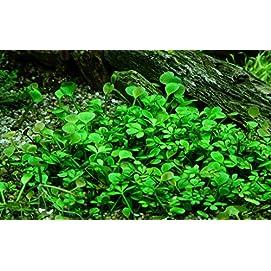Tropica Aquarium Pflanze Marsilea hirsuta