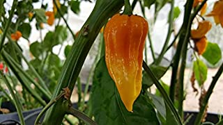 Dorset Naga Orange Chile 10+ Seeds