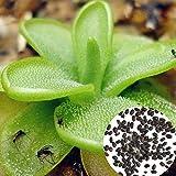 quanjucheer 100 Stück Big Mouth Insekt Fängt Pflanzensamen Bonsai Home Gemüsegarten Fleischfressende Blume Home Garden Yard Bonsai Decoroation Fleischfressende Pflanzensamen