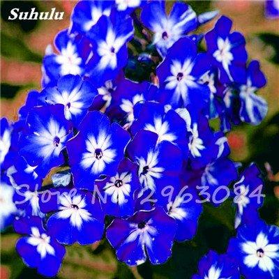 100 Pcs Nerium Oleander Flower Look Seed Tout comme les plantes Rose Fleur Bonsai jardin Arbre Quatre Saisons fleurs vivaces Easy Grow 1