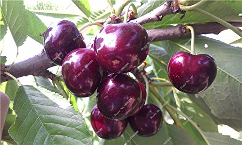Graines Multi Color Cerise Fruit de Fleurs vivaces Jardin Plantes en pot Heirloom fruit délicieux croissance naturelle 10 particules 15
