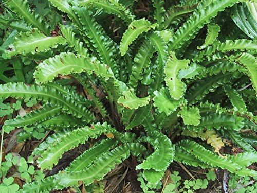 3 x Phyllitis scolopendrium 'Angustifolium' (Ziergras/Farn) Hirschzungenfarn