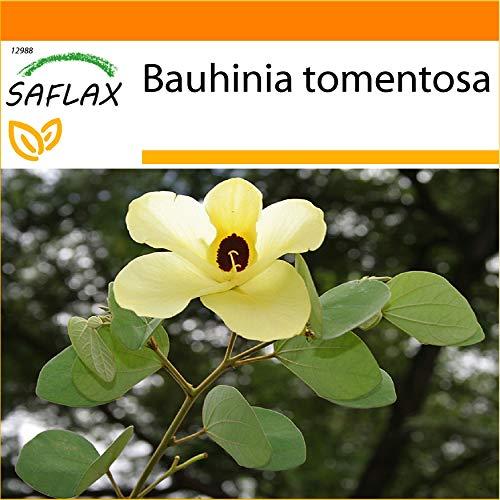 SAFLAX - Jardin dans le sac - Arbre aux tulipes - 30 graines - Bauhinia tomentosa