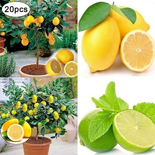Zitronensamen, 20 seltene Zitronenbaum-Samen für Zuhause und Garten, schnell wachsende Bonsai, Bio-Fruchtdekoration