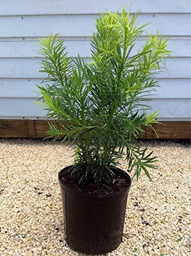 FERRY Bio-Saatgut Nicht nur Pflanzen: Podocarpus macrophyllus 'Ma', Japanische Eibe - 100 Seeds Glon