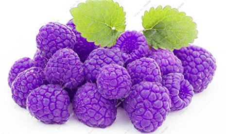 Bonsai framboise mûre graine noire Berry Blackberry vivace arbre plante délicieux fruits Succulent meilleur cadeau pour les enfants de 400 Pcs 11
