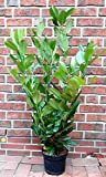 6 Stück Kirschlorbeer - Pflanzen, Prunus laurocerasus Novita, Höhe: 80-100 cm ab Topfoberkante