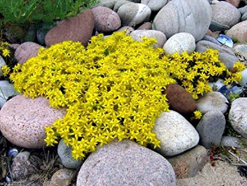 Sedum acre-goldener Teppich, Gelb Stonecrop Bodendecker Blume Samen- 500 Samen