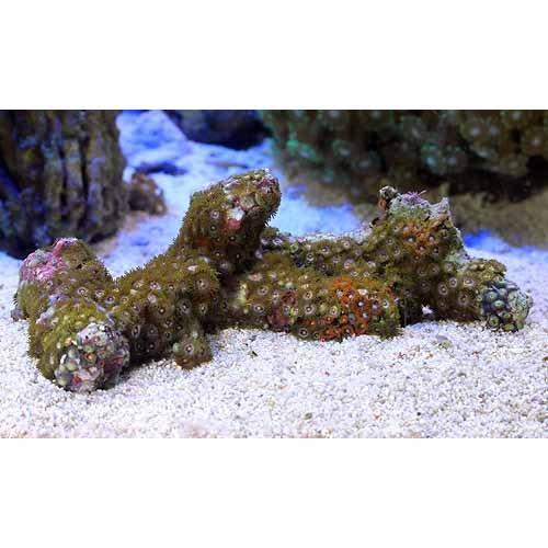 (海水魚 サンゴ)沖縄産 マメスナギンチャク ブランチ おまかせカラー Mサイズ(1個) 本州・四国限定[生体]