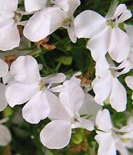 Lobelia Riviera plus de 400 graines blanches ~ Jardin des plantes médicinales Floraison annuelle