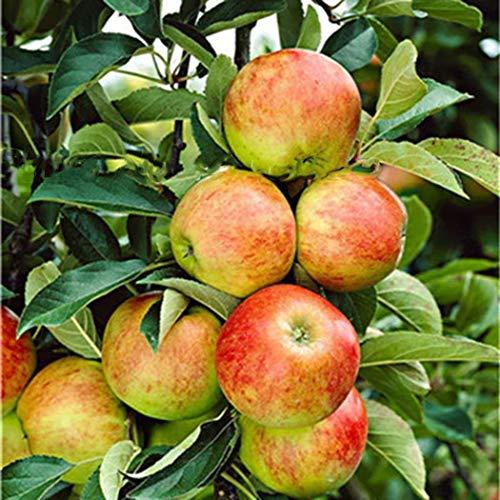 SummerRio Garten-30 Stück süßen Apfel Samen, Apfelbaum Saatgut Obst Samen mehrjährig winterhart Bonsai Fruchtsamen für Hausgartenpflanzen