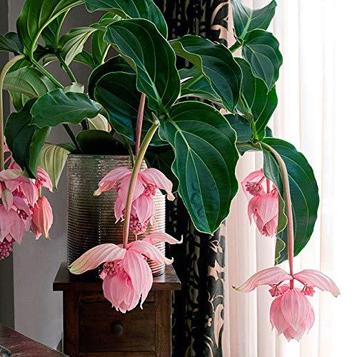 Portal Cool Combo Hot Hot Medinilla Magnifica Seeds Schönes Rosa + Chamaedorea Elegans