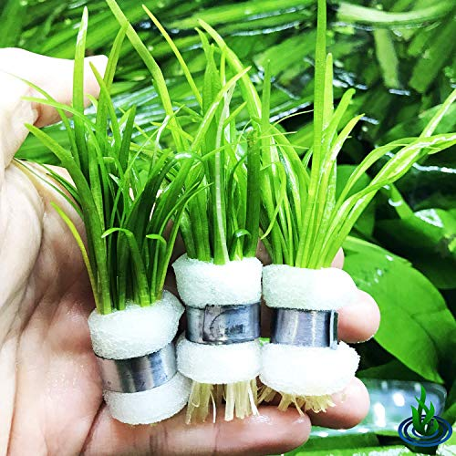Greenpro Dwarf Sagittaria Subulata 3-Bunch Freshwater Live Aquarium Plants Carpet Tank