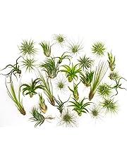 3 Plantas de Aire Mixtas Tillandsia - Plantas Fuertes - Plantas de Casa Mezcla Purificadora de Aire