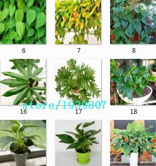 100% 100pcs rares véritables 10kinds mélanger les graines Philodendron, feuille de vigne, les plantes d'intérieur rayonnement Anti absorber la poussière des semences d'arbres