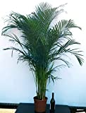 ARECA, PALMA DI ARECA altezza 180cm, pianta vera