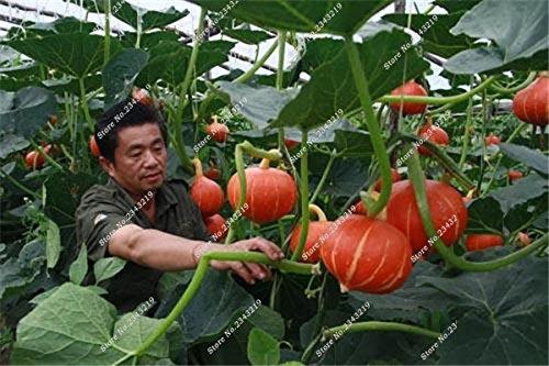 Graines de citrouille Cucurbita fil d'or fruits citrouille melon et légumes des semences meilleures ventes de l'extérieur, Bonsai 30 Plantes en pot 8 pièces