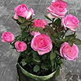100 Stück Samen Prolific High Yield Natürliche hohe Keimrate Rosensamen für...