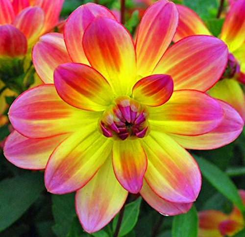 (2) Pacific Ocean Dahlia Roots, Beautiful Flowering Dahlia Bulbs, Plants, Flower, SeedsBulbsPlants&More