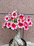 Rosa del desierto planta,El balcón es precioso e impresionante.Flores delicadas-2,1bulbos
