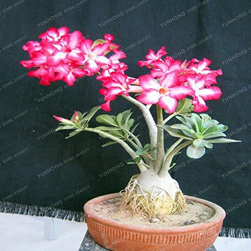 Sump Fresh 1 pieza Desert Rose Adenium Obesum semillas de flores para plantar rosa